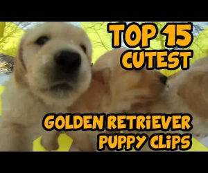 15 cutest golden retriever puppies Funny Video