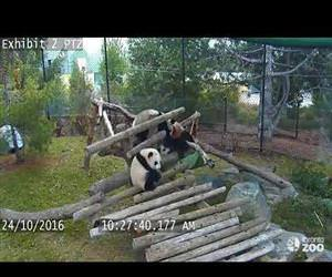 Giant Panda Cub Fall Compilation- Toronto Zoo Funny Video