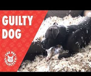 Guilty Dog Tears Up Feather Pillow Funny Video