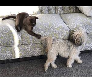 Havanese Dog Tail is an Awesome Cat Teaser Funny Video