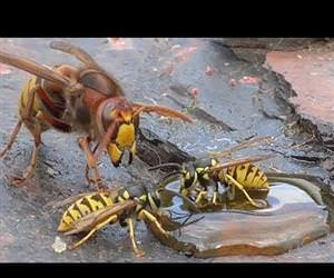 Hornet and wasp Funny Video
