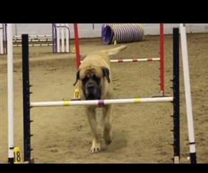 Mastiff Competing At Dog Agility Funny Video