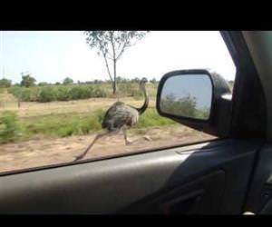 Ostrich running at 30 mph Funny Video
