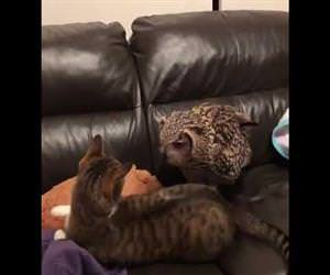 Owl Spooks Cat Off Couch Funny Video