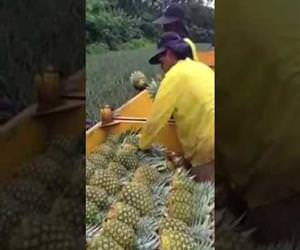 Pineapple harvesting is pretty fast Funny Video