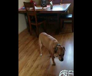 Pit Bull Slowly Tiptoes Into Kitchen to Steal Food Funny Video