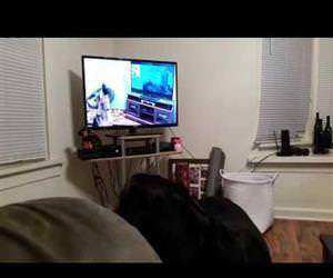 Rottweiler howling  wolves Funny Video