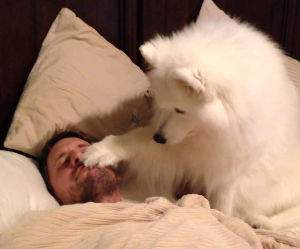 Samoyed Wakes Dad Funny Video