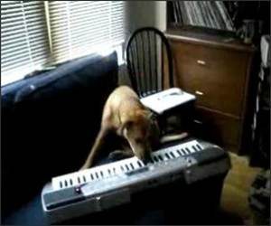 Amazing Piano Dog Funny Video
