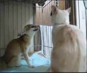 Annoying Fox Versus Cat Video