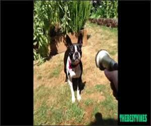 Dog Vs Hose Funny Video