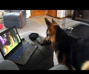 awesome dog watches Westminster 2017 Funny Video