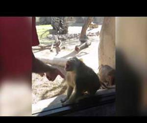 baboon is amazed by magic trick Funny Video