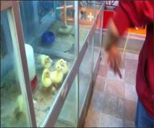 Baby Ducks YoYo Funny Video