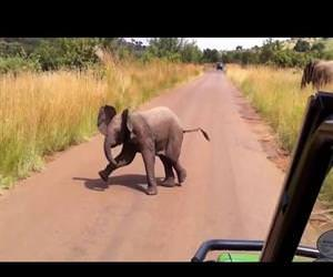 baby elephant attack Funny Video