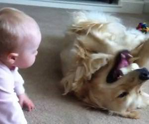 baby taking bone from golden retriever Funny Video