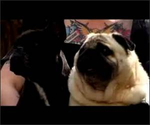 Pug saying batman Funny Video