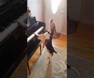 buddy the beagle playing piano Funny Video