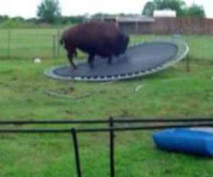buffalo jumps on trampoline Funny Video