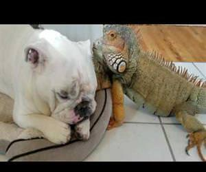 bulldog and iguana are best of friends