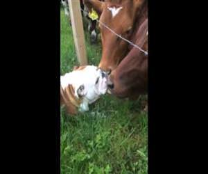 bulldog meeting some cows Funny Video