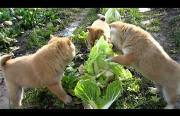 cabbage patch puppies Funny Video
