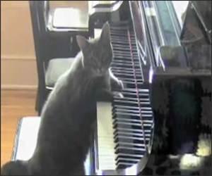 Cat Concerto Funny Video