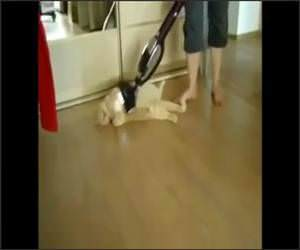 Cat Loves Being Vacuumed Video