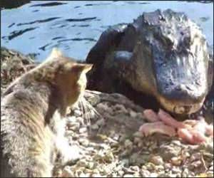 Cat Vs Alligator Video