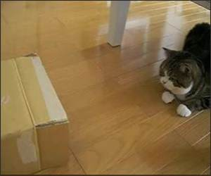 Cat attacking Box Funny Video