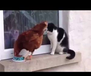 chicken vs cat for food Funny Video