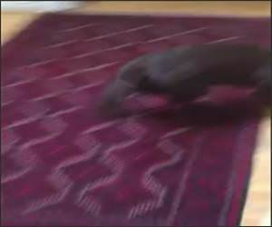 Chocolate Lab Surfing Stairs Funny Video