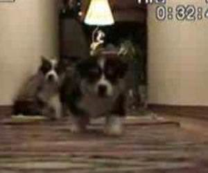 Corgi Puppy Stampede Funny Video