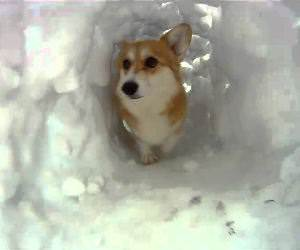 corgi snow tunnel Funny Video
