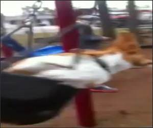 Corgi Swinger Funny Video