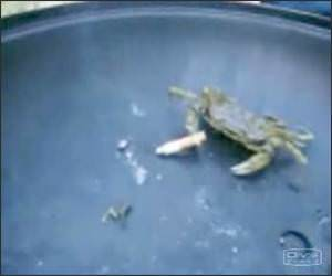 Crab Smoking