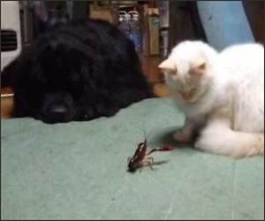 Crawfish Vs Cat