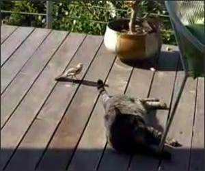 Crazy Bird attacks Cats