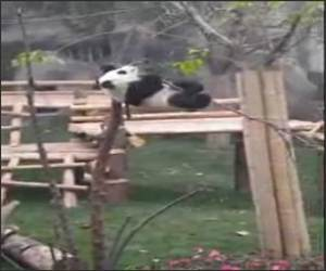 Cute Panda in a Tree Funny Video