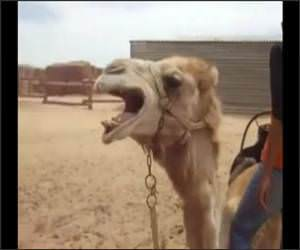 Death Metal Camel Funny Video