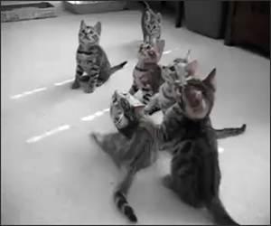 Dizzy Kittens Funny Video