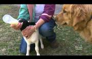 dog adopts a lamb Funny Video