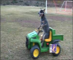 Dog Driving Cart Funny Video