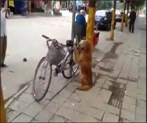 Dog Guards owners bike Funny Video