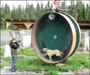 Dog Hampster Wheel Funny Video