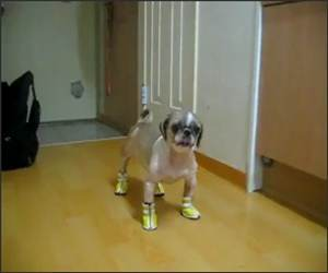 Dog hates his shoes Funny Video