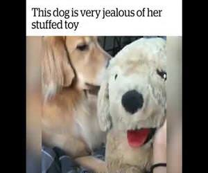 dog is very jeleous of a stuffed toy Funny Video