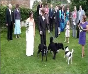 Dog Pees on Bride Funny Video