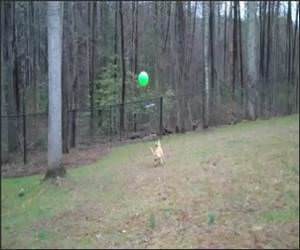 Dog Playing Volleyball Funny Video