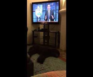 dog runs to bed when tv turns off Funny Video